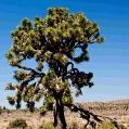 Josuha Tree