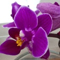 Orchidej 1