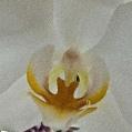 Orchidej 7