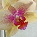 Orchidej 6